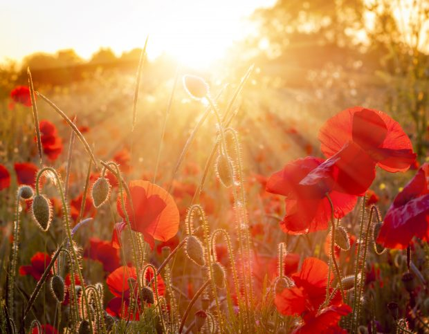 Golden sunlight illuminating red poppies in a field