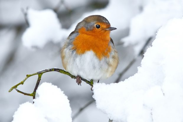 A robin sitting on a snowy branch