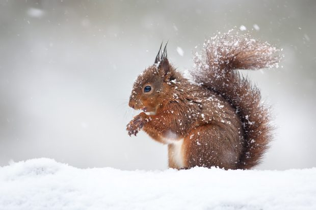 A red squirrel sitting in the snow